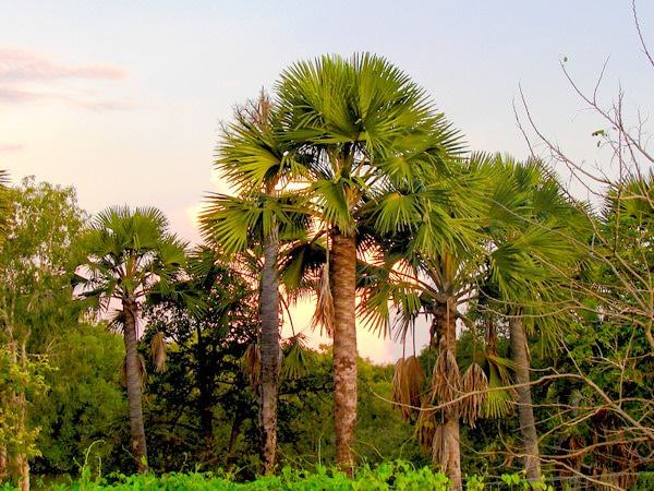 Mature Royal Palm Trees 76